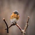 Gazing Eastern Bluebird by Douglas Barnett