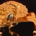 Gecko - Id 16218-130703-9950 by S Lurk