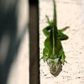 Sunbathing Lizard by Angela Rath
