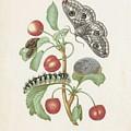 Gedaanteverwisseling Van De Nachtpauwoog  Maria Sibylla Merian  1679 by Gedaanteverwisseling van de nachtpauwoog  Maria Sibylla Merian