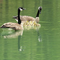 Geese And Babies by David Arment