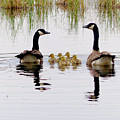 Geese And Goslings by Paula Joy Welter