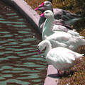 Geese At Guth Park by Diann Baggett