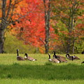 Geese In Autumn by Harry Moulton