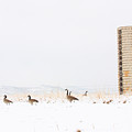 Geese In The Snow With Silo by James BO  Insogna