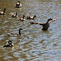 Geese On Lake June 27 2015 by Gary Canant