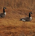 Geese On The Salt Marsh  by Bill Driscoll