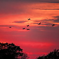 Geese On Their Sunset Arrival by Dale Kauzlaric
