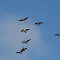 Geese by Pamela Peters