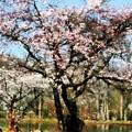 Geese Under Flowering Tree by Susan Savad