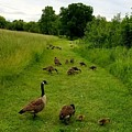 Geese Walk by Sue Rosen
