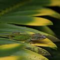 Gekco On Palm  Leaf by Roger Mullenhour