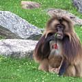 Gelada Baboon by Diane Hawkins