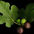 Gelini's Fig Tree by Deborah J Humphries