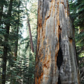 General Grant Grove Sequoia by Kyle Hanson