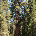 General Sherman Giant Sequoia Tree Sequoia National Park by NaturesPix