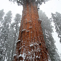 General Sherman Is The Biggest Tree In The World by Pierre Leclerc Photography