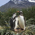 Gentoo Penguin And Young Chicks by Suzi Eszterhas