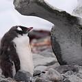 Gentoo Penguin Chick Under Whale Vertebrae by Bruce J Robinson
