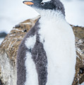 Gentoo Penguin With Turned Head On Snow by Ndp