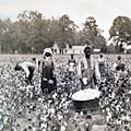Georgia Cotton Field - C 1898 by International  Images