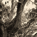 Georgia Live Oaks And Spanish Moss In Sepia by Kathy Clark