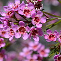 Geraldton Wax Flowers, Cwa Pink - Australian Native Flower by Geraldine Cote