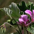 Geranium Blossom by Grant Groberg