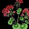 Geranium Flower Watercolour  by Irina Sztukowski