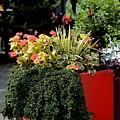 Geraniums And Gelato by Connie Fox