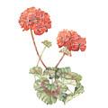 Geraniums by Diane Inman