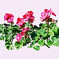 Geraniums In A Row by Susan Savad
