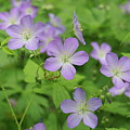 Geraniums Spring Wildflowers by Michael Peychich