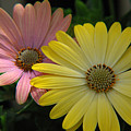 Gerber Daisies by Jerry McElroy