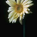 Gerber Daisy by Laurie Paci