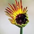 Gerbera Bloom by Peggy Burley