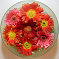 Gerbera Daisies - From Above by Lucyna A M Green