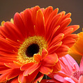 Gerbera Daisies - Luminous by Lucyna A M Green