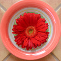 Gerbera Daisy - Bowled On Tile by Lucyna A M Green