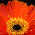 Gerbera Daisy - Glowing In The Dark by Lucyna A M Green