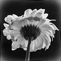 Gerbera Daisy 2 by Guy Shultz