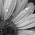 Gerbera Daisy After The Rain 2 by Natasha Sweetapple