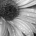 Gerbera Daisy After The Rain 3 by Natasha Sweetapple