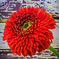 Gerbera Daisy Against Old Wall by Garry Gay
