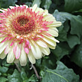Gerbera Daisy by Aimee L Maher ALM GALLERY