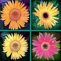 Gerbera Daisy Collage In Square by Diann Fisher