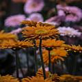 Gerbera Daisy Garden by Garry Gay