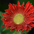 Gerbera Daisy by James Hennis