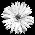 Single Gerbera Daisy by Marilyn Hunt