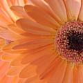 Gerbera Daisy by Mary Halpin